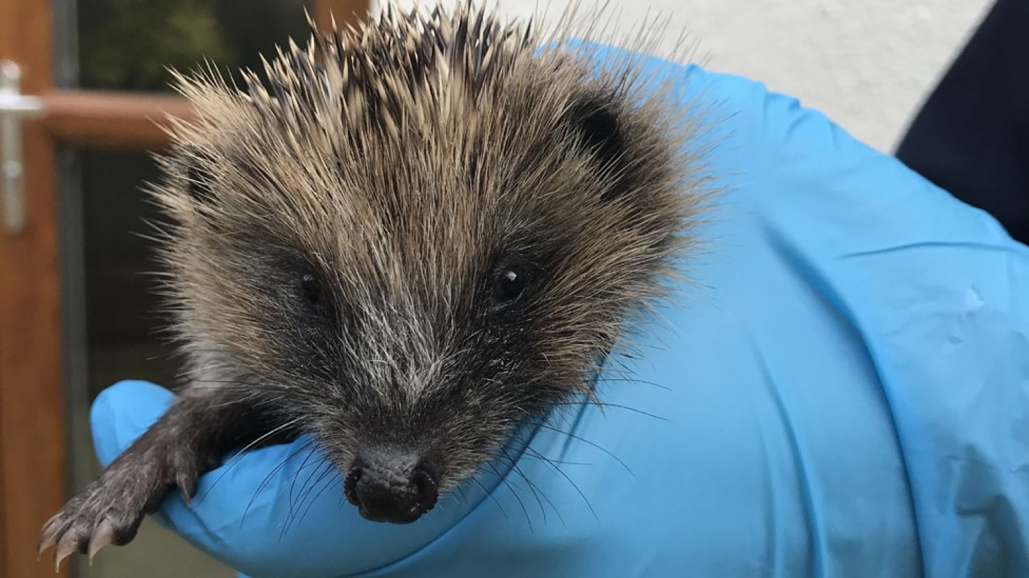 Mr. Prickles finds new home following rescue from drain